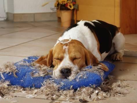 Traiter le syndrome du chien destructeur