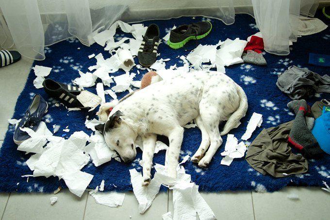 Syndrome du chien destructeur: causes et solutions
