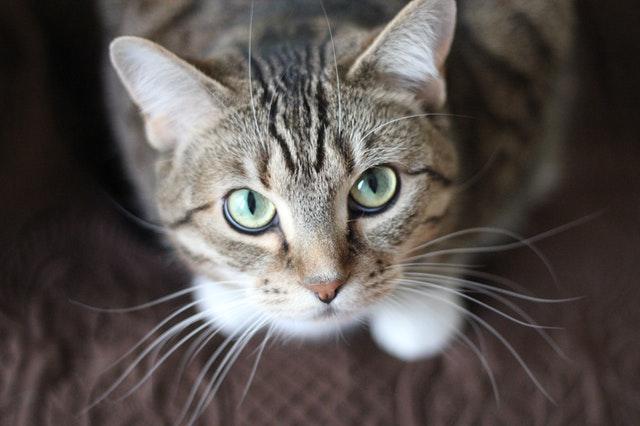 L'adoption du chat