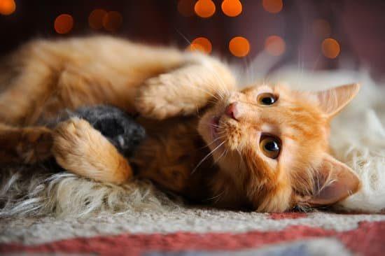 Adopter un chaton: les accessoires indispensables