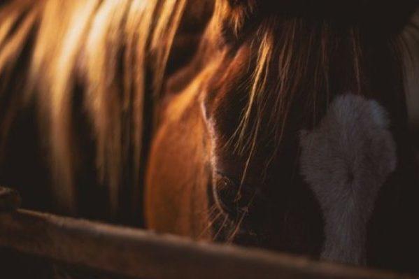 Maltraitance sur un cheval: comment et à qui le signaler?
