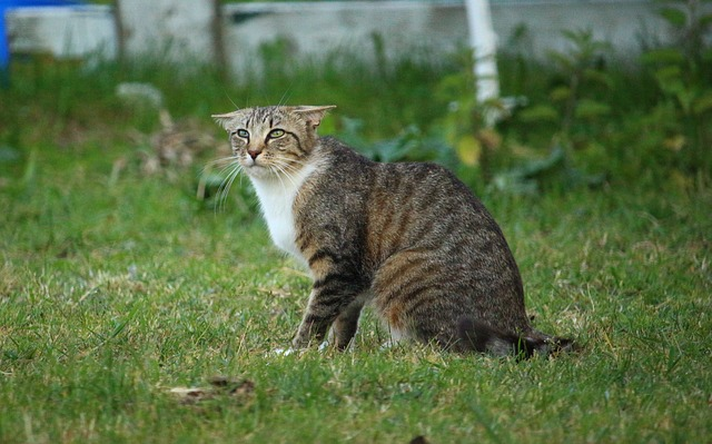 Les oreilles pour connaitre l'émotion d'un chat