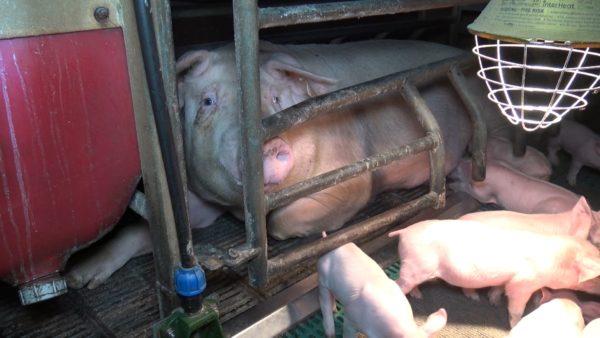 Interdiction de l'élevage intensif