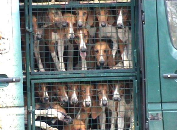 Interdiction de la chasse à courre