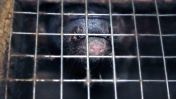 Interdiction des élevages à fourrures